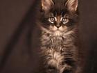 Изображение в Кошки и котята Продажа кошек и котят Предлагается для резерва куненок-медвежонок в Нижнем Новгороде 30000