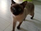 Свежее фото  Ищу кошку породы меконгский бобтейл для вязки с кодом этой породы 38554181 в Нижнем Новгороде