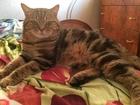 Новое фотографию Вязка кошек Вязка скотиш-фолд и скотиш-страйт 39920524 в Нижнем Новгороде