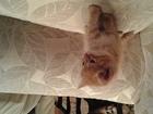 Увидеть фото Отдам даром - приму в дар Отдам в добрые руки котят, Отдадим котят в добрые руки, Возраст 1 мес, 3 нед, Здоровые, приученых к лотку, хорошо кушают, По окрасу рыжий кот, серый с белым 42739240 в Нижнем Новгороде