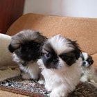 продам щенков породы пекинес