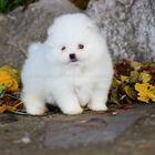 Чистокровные белый Померанский Boo