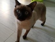 Ищу кошку породы меконгский бобтейл для вязки с кодом этой породы Котик породы м