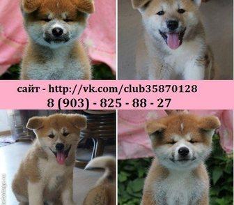 Фотография в Собаки и щенки Продажа собак, щенков Продам пёсиков Акита-Ину по хорошим ценам. в Нижнем Новгороде 0