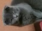 Фото в Кошки и котята Вязка Шотландская вислоухая серенькая кошечка Бусинка, в Нижнем Тагиле 0