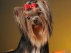 Фотография в   Красивые щенки йоркширского терьера из питомника в Нижнем Тагиле 25000