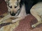 Фотография в Собаки и щенки Вязка собак Ищем кобеля для вязки собаке 2 года, привитая. в Нижнем Тагиле 0