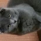 Шотландская вислоухая кошечка 1,3 года без опыта ищет кота