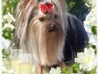 Изображение в   Красивые щенки Йорка от питомника Мари Бижу, в Ноябрьске 25000