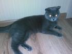 Фотография в Кошки и котята Вязка Шотландская вислоухая кошечка (дымчатого в Ноябрьске 0