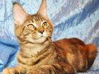 Изображение в Кошки и котята Продажа кошек и котят Продается крупная кошечка мейн-кун, окрас в Новокузнецке 0