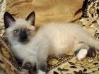 Изображение в Кошки и котята Продажа кошек и котят Предлагается невский маскарадный малыш. Окрас в Новокузнецке 1000
