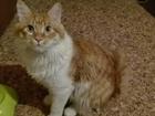 Скачать бесплатно foto  Вязка кота породы мейн—кун 56883720 в Новокузнецке