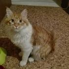 Вязка кота породы мейн—кун