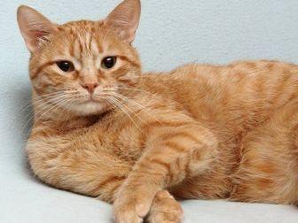 Скачать изображение  Рыжий кот 32462167 в Новокузнецке