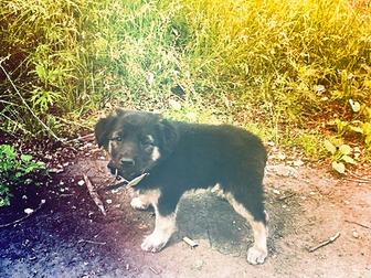 Новое фотографию Отдам даром - приму в дар отдам даром щенка овчарки 33092370 в Новокузнецке