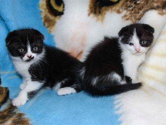 Смотреть изображение Продажа кошек и котят Шотландские котята 33129998 в Новокузнецке