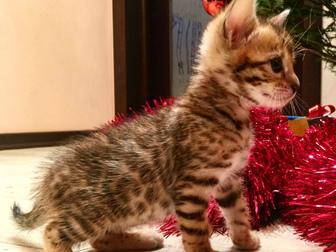 Просмотреть фотографию Отдам даром - приму в дар Отдам ДАРОМ Бенгальских котят 38403776 в Новокузнецке
