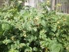 Просмотреть фото  Саженцы малины желтой сортовой 74630158 в Новомосковске
