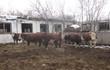 Продам баранов курдючные.   Продаю быков