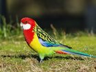 Фото в Домашние животные Птички Розеллы-средних размеров попугаи. К этому в Новосибирске 7500