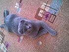 Изображение в Кошки и котята Вязка Ищем женихадля нашей кошечки! Мы вислоухие в Новосибирске 0