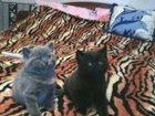 Фото в Кошки и котята Продажа кошек и котят Продам британских плюшевых котят, 01. 03. в Новосибирске 3000