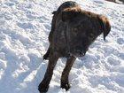 Скачать фотографию  Отдам щенка на охрану 32601895 в Новосибирске