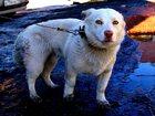 Фото в Отдам даром - Приму в дар Отдам даром Отдаются 2 собачки, ДВОРЯНСКОГО происхождения в Новосибирске 0