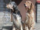 Фото в Собаки и щенки Продажа собак, щенков Ожидается рождение щенков английского сеттера в Санкт-Петербурге 40000
