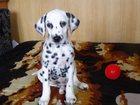 Фото в Собаки и щенки Продажа собак, щенков продам щеночка далматина 2 месяца очень веселый в Новосибирске 10000