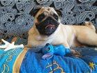 Увидеть фото Вязка собак Мопс мальчик, Вязка, 1,6, Ищем девочку, Ветпаспорт, Привит 34754953 в Новосибирске