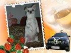 Фото в Собаки и щенки Вязка собак Мальчик, 1, 3 года, привит, здоров, бодр, в Новосибирске 0