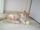 Фото в   Ищет дом солнечный бело-рыжий котенок (3 в Новосибирске 0