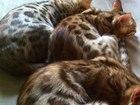 Фото в Кошки и котята Продажа кошек и котят Продам бенгальских котят, окрас n 24 розетка в Новосибирске 10000