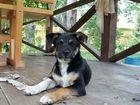 Фотография в Собаки и щенки Продажа собак, щенков На даче прибились 2 щенка (мальчик и девочка). в Новосибирске 0