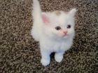 Фото в Кошки и котята Продажа кошек и котят Отдам котят. Мама-ангора, папа- шотландский в Новосибирске 0