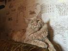 Изображение в Кошки и котята Вязка Опытный развязанный кот Мейн-Кун приглашает в Новосибирске 5000