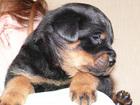 Изображение в   Продаются щенки ротвейлера. Рождены 17 августа. в Новосибирске 6000