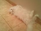 Фото в Кошки и котята Вязка кошечка Соня , порода-Турецкая Ангора, белоснежная, в Новосибирске 0
