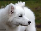 Фото в Собаки и щенки Продажа собак, щенков Девочка самоедской лайки! Очень игривая и в Новосибирске 37000