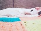 Уникальное фотографию  Кошечка породы ориентальная,ищет кота для вязки 37398456 в Новосибирске