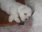 Изображение в Собаки и щенки Продажа собак, щенков Очаровательные щенки бишона родились27 09 в Новосибирске 0