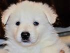 Фото в   Продается щенок белой швейцарской овчарки. в Новосибирске 10000