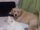 Фото в   Замечательный щенок Голден ретривера, день в Новосибирске 15000