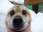 Фотография в Отдам даром - Приму в дар Отдам даром Найден рыжий симпатичный песик, мальчик. в Новосибирске 0