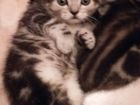 Фотография в Кошки и котята Продажа кошек и котят Окрас-мрамор на серебре. Мальчики. Приучены в Новосибирске 3500