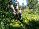 Скачать бесплатно фото Вязка собак Кобель западно-сибирской лайки 2, 5 года работает по пушнине, 38301355 в Новосибирске