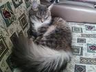 Фотография в Кошки и котята Продажа кошек и котят Молодая (1 год) сибирская кошка по имени в Новосибирске 0