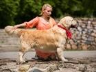 Изображение в Собаки и щенки Вязка собак Предлагается для вязки кобель золотистого в Новосибирске 0